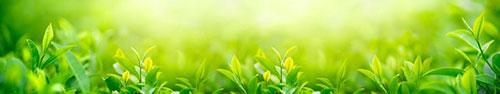 Скинали - Чайная плантация