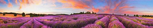 Скинали - Лавандовое поле в лучах заходящего солнца