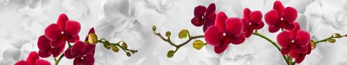 Скинали - Орхидеи цвета кардинал на светло-сером фоне