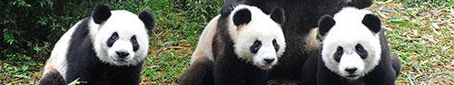 Скинали - Панды