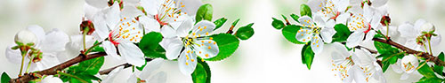 Скинали - Распустившиеся цветочки вишни
