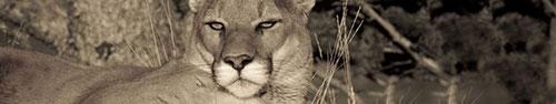 Скинали - Белая пантера