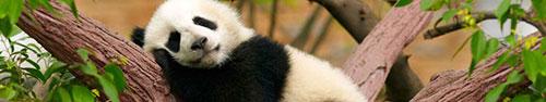 Скинали - Спящая на дереве панда