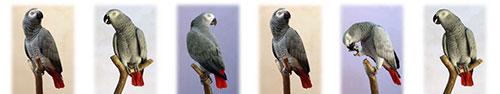 Скинали - Серый попугай на веточке