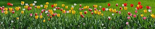 Скинали - Красивая панорама тюльпанов