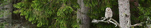 Скинали - Неясыть на ветке в лесу