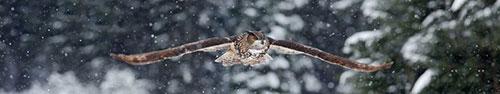 Скинали - Евразийский филин летит по заснеженному лесу