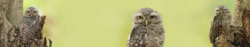 Скинали - Пятнистая сова на зеленом фоне