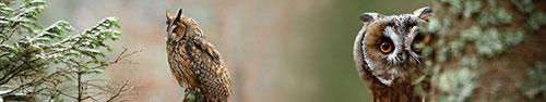Скинали - Потрясающая длинноухая сова в лесу