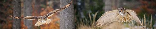 Скинали - Полет евразийского филина в лесу