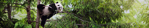 Скинали - Панда на ветке дерева