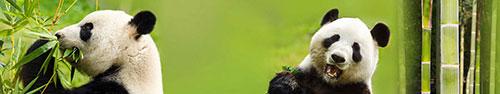 Скинали - Панды кушают бамбук