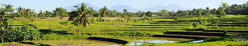 Скинали - Рисовые поля и пальмы
