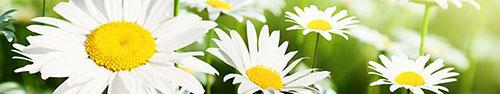 Скинали - Белые солнечные ромашки