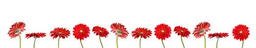 Скинали - Яркие красные герберы