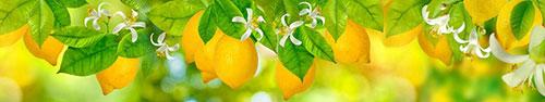 Скинали - Лимоны на ветках