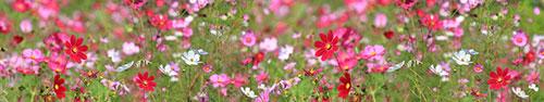 Скинали - Разноцветные цветы космея