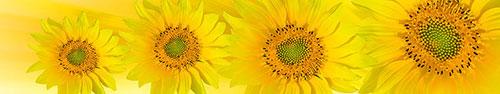 Скинали - Желтые цветы подсолнуха
