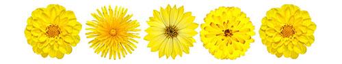 Скинали - Коллекция желтых пушистых цветков
