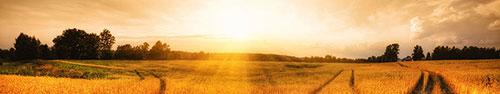 Скинали - Пшеничное поле и яркий рассвет