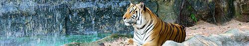 Скинали - Тигр на привале