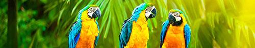 Скинали - Оранжевые попугайчики