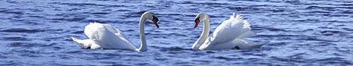 Скинали - 2 влюбленных лебедя