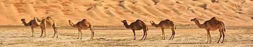 Скинали - Верблюды в пустыне