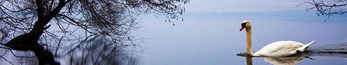 Скинали - Одинокий лебедь на озере